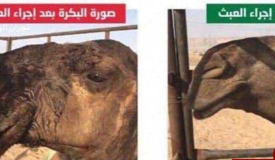 جراحی زیبایی به شترها رسید!+عکس