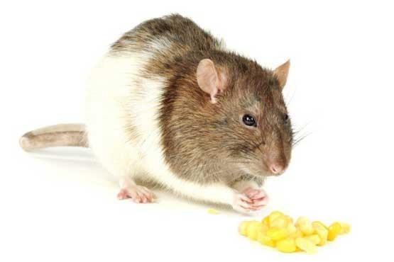 دانشمندان علوم اعصاب,مدل حیوانی