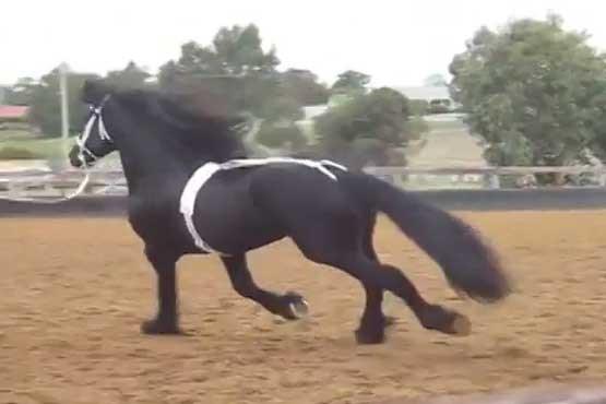 قیمت اسب روسی