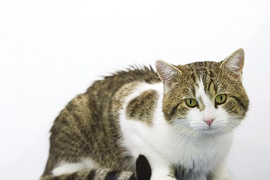 چرا گربهها مردمکهای عمودی دارند؟