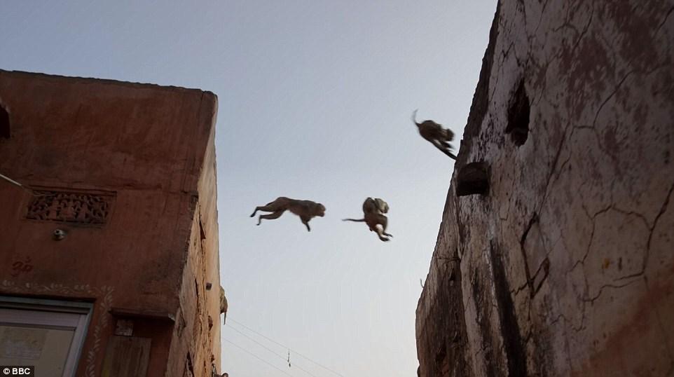 میمون های دزد و شرور ، دردسر بزرگ شهروندان هندی! (عکس)