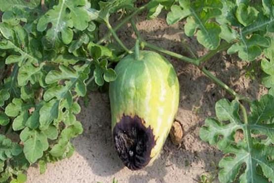 ۷۰هکتار مزرعه هندوانه نابود شد + عکس