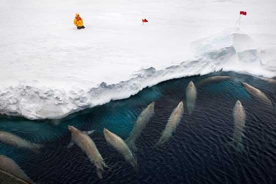تصاویر برگزیده از حیات وحش در قطب