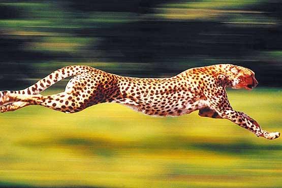 سریعترین جانور ساکن خشکی منقرض میشود؟
