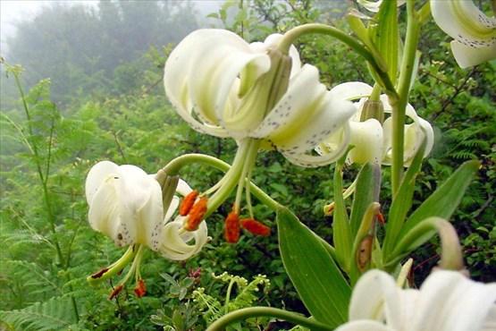 گیاهان شگفت انگیز گیاهان جالب گل کمیاب گل چلچراغ داماش سوسن چلچراغ داماش گیلان انواع گل با عکس اخبار رودبار