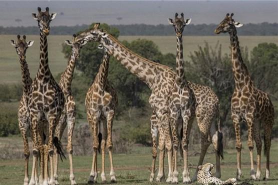 حیواناتی که ابزار دیپلماسی شدند + عکس
