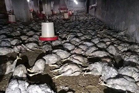شش هزار قطعه مرغ زنده در حادثه آتش سوزی تلف شدند